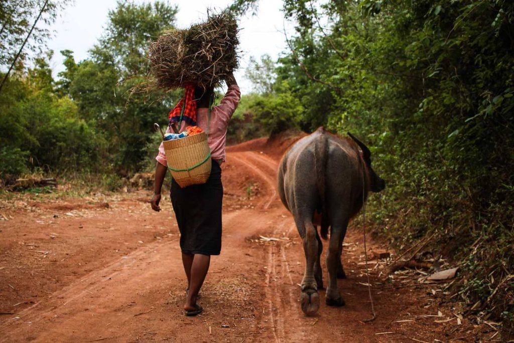 bufalo-myanmar