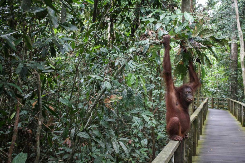 vida-selvagem-ilha-do-bornéo