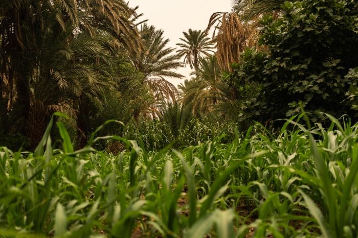 Campo agrícola no meio do palmeiral de Fint