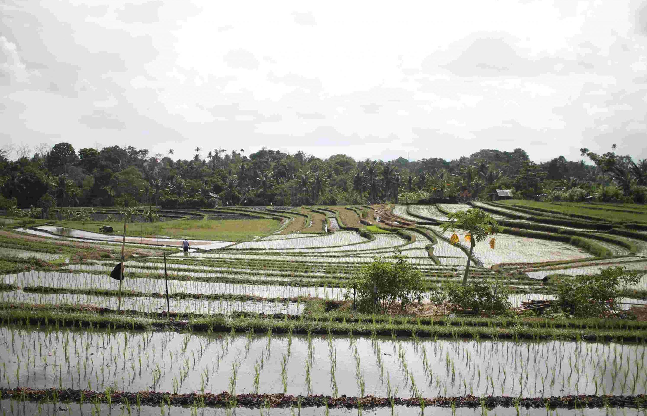 arrozais-bali